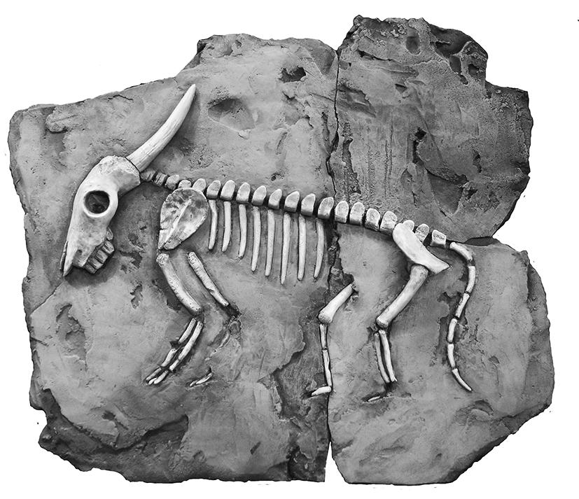 97_lyons_bull-raccoon-fossil_image1